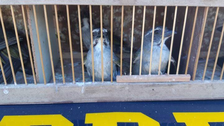 Pai e filho são flagrados com 300 pássaros silvestres na BR 232